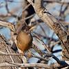 zorzal austral thrush