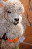 LLama with serious dental problem