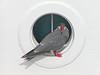 Inca Terns