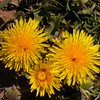 Cl 0356 Taraxacum officinale