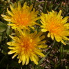 Cl 0569 Taraxacum officinale