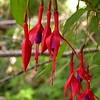 Cl 3728 Fuchsia magellanica
