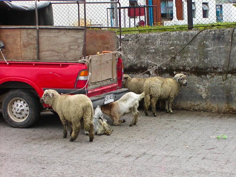 Goats,Puerto Montt, Argentina
