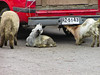 Goats exploring old truck