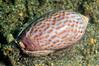 Snail: Oliva peruvuana<br /> Under Muelle Baron Pier<br /> Valparaiso, Chile<br /> ID thanks to Luis Prado