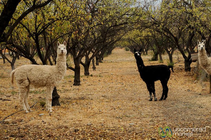 Llamas at Antiyal Winery - Upper Maipo, Chile