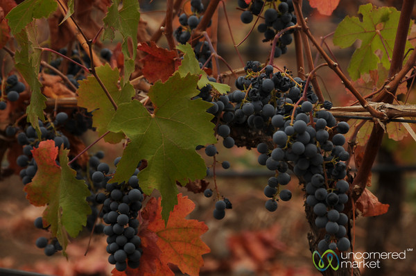 Late Harvest Grapes - Antiyal Winery, Chile