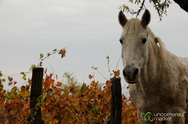 Vineyard Horse - Antiyal Winery, Chile