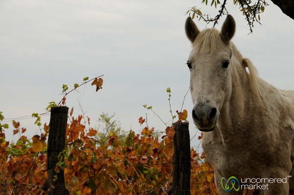Vineyard Horse - Antiyal Winery, Chile