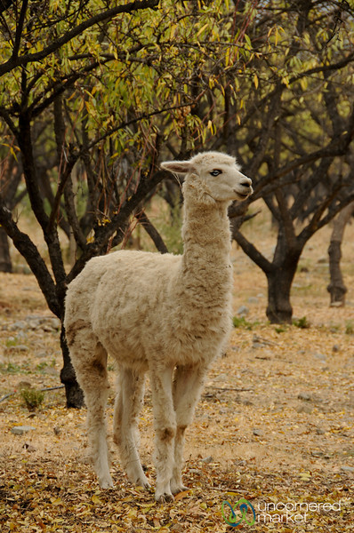 Blue-Eyed Alpacas - Antiyal Winery, Chile