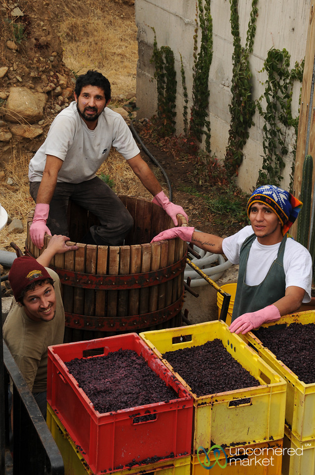 Harvest Time at Antiyal Winery - Maipo Alto, Chile