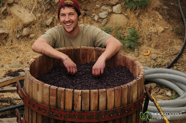 Preparing for the Grape Crush - Antiyal Winery, Chile