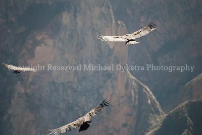 3 Condors