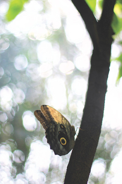 An owl butterfly. August 2017