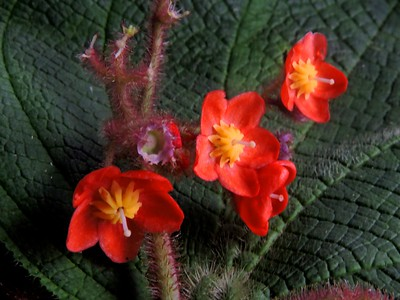 New flower discovered in Colombia in 2016 (Fundación Tropico project)