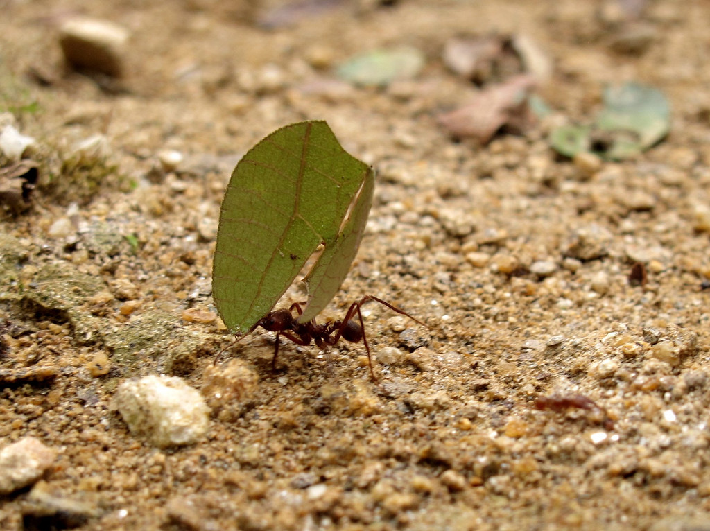 A hard-working ant