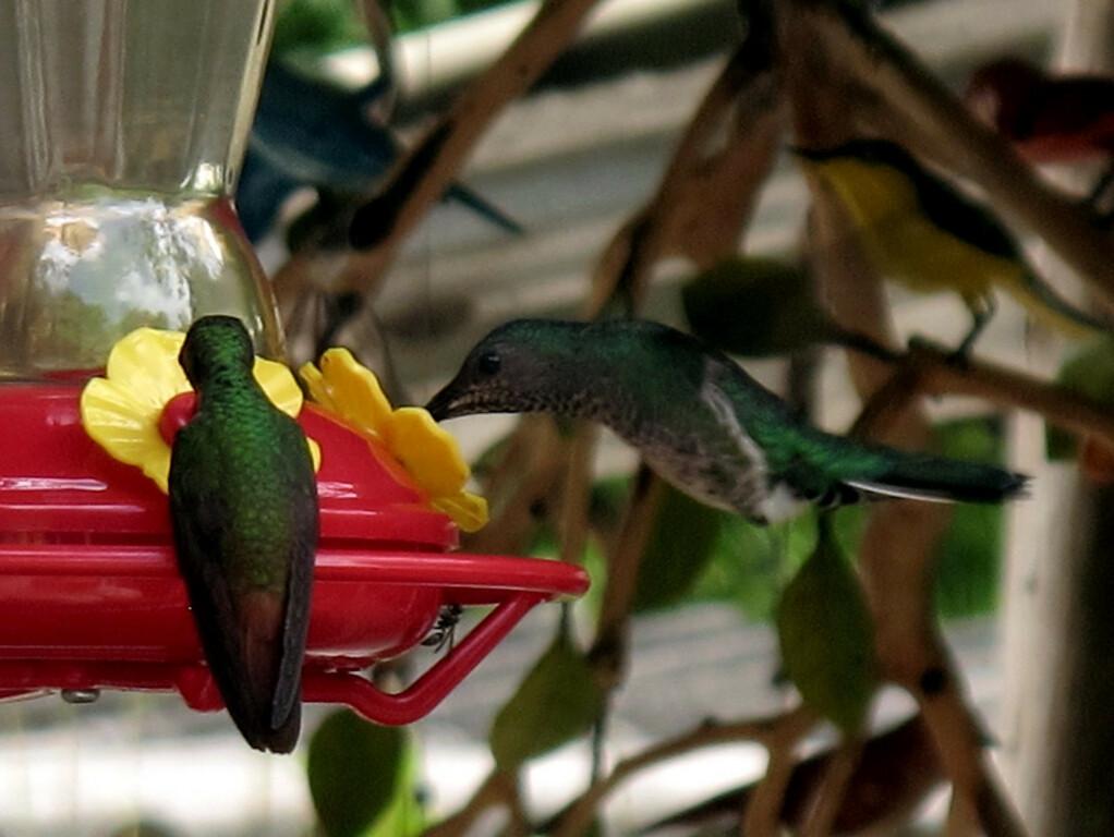 Hummingbirds at Sierra Nevada, Colombia