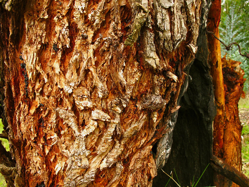 Tree bark in Suesca, Colombia
