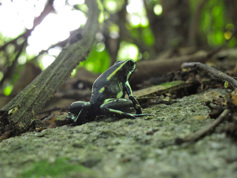 """Little frog in Tayrona National Park (Colombia) For the story, check out my post: <a href=""""http://www.nomadbiba.com/wp/2011/09/tayrona-national-park-saving-the-best-for-last/""""> Tayrona National Park – Saving The Best For Last</a>"""