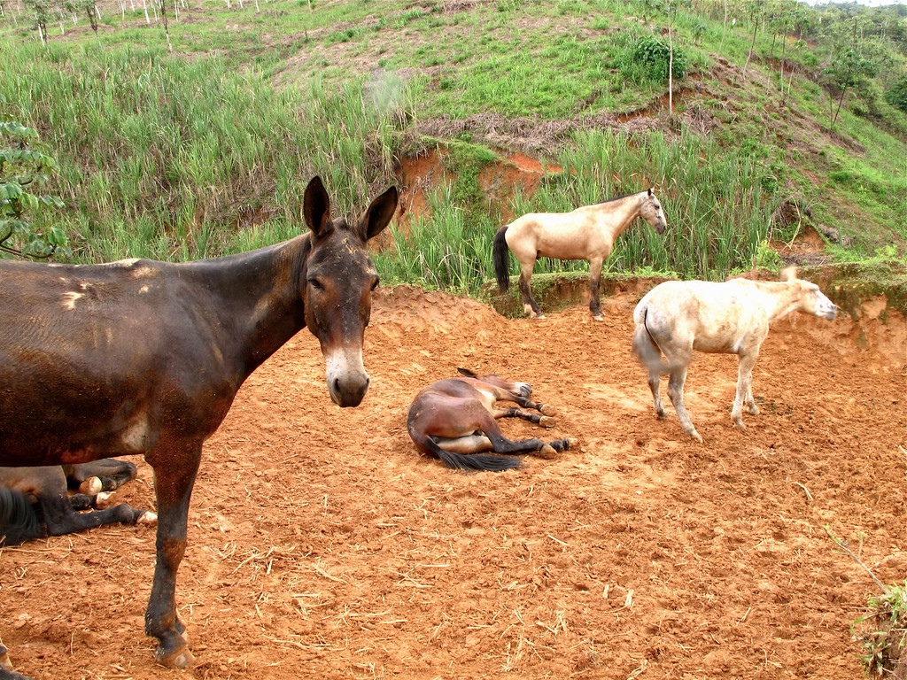 """Mules chilling on a Sunday at Trapiche Gualanday near Yolombó in Colombia For the full story, check out: <a href=""""http://www.nomadbiba.com/wp/2011/06/panela-the-purest-sweetness-from-the-cane/""""> Panela – The Purest Sweetness From The Cane</a>"""