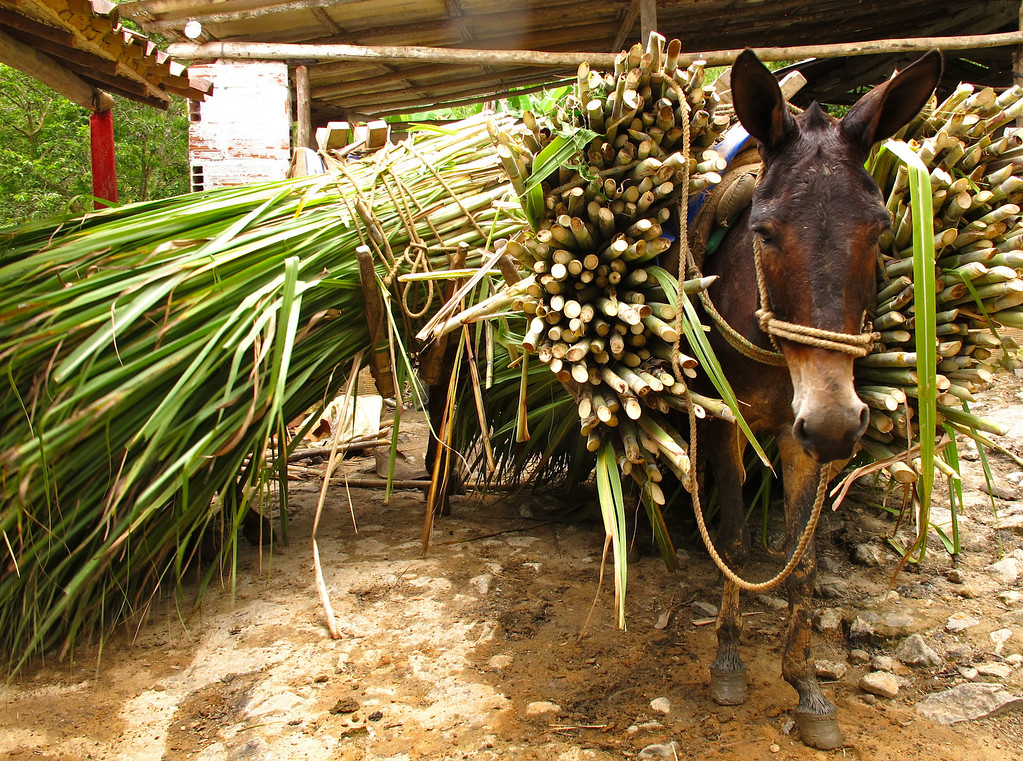 """Mule waiting to be unloaded near Yolombó, Colombia For the full story, check out: <a href=""""http://www.nomadbiba.com/wp/2011/06/panela-the-purest-sweetness-from-the-cane/""""> Panela – The Purest Sweetness From The Cane</a>"""