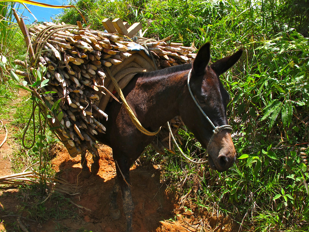 """Mule carrying sugar cane near Yolombó, Colombia For the full story, check out: <a href=""""http://www.nomadbiba.com/wp/2011/06/panela-the-purest-sweetness-from-the-cane/""""> Panela – The Purest Sweetness From The Cane</a>"""