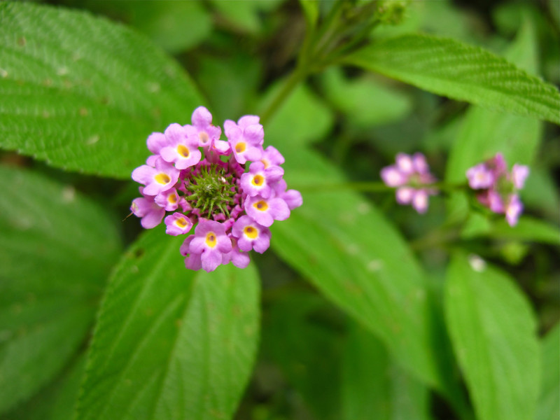 Pink tiny flower