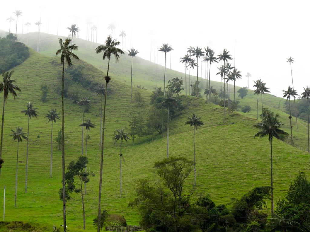 Palm trees in Valle del Cocora (Quindio), Colombia