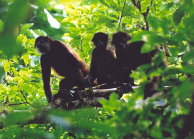 Spider monkeys, Corcovado