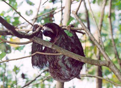 Sloth, Cahuita NP