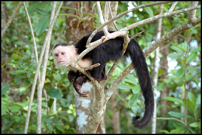 White faced capuchin monkey, Cahuita NP