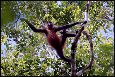 Spider monkey, Corcovado