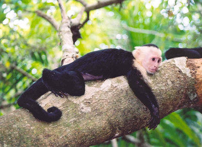 White faced capuchin monkey, Manuel Antonio