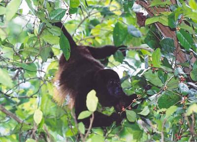 Howler monkey, Cahuita NP