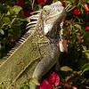 Cu 0321 Groene leguaan (Iguana iguana)