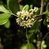 Cu 0012 Trichilia trifolia