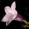 Cu 0021 Cryptostegia grandiflora