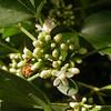 Cu 0013 Trichilia trifolia