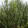 Cu 0010 Euphorbia tirucalli