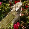 Cu 0320 Groene leguaan (Iguana iguana)