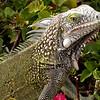 Cu 0323 Groene leguaan (Iguana iguana)