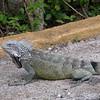 Cu 0753 Groene leguaan (Iguana iguana)