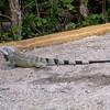 Cu 0749 Groene leguaan (Iguana iguana)