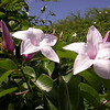 Cu 0018 Cryptostegia grandiflora