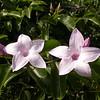 Cu 0019 Cryptostegia grandiflora