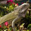 Cu 0322 Groene leguaan (Iguana iguana)