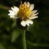 Cu 0025 Tridax procumbens
