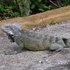 Cu 0754 Groene leguaan (Iguana iguana)