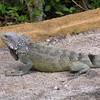 Cu 0752 Groene leguaan (Iguana iguana)