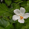 Cu 1287 Hibiscus phoeniceus